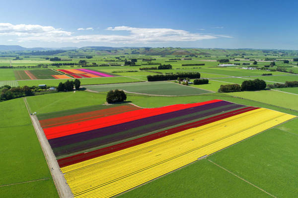 Aerial Of Colorful Tulip Fields Art Print by David Wall