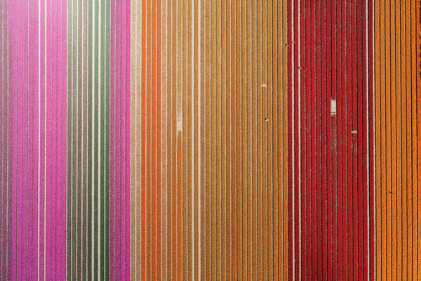 Wall Art - Photograph - Aerial Of Workers In Colorful Tulip by David Wall