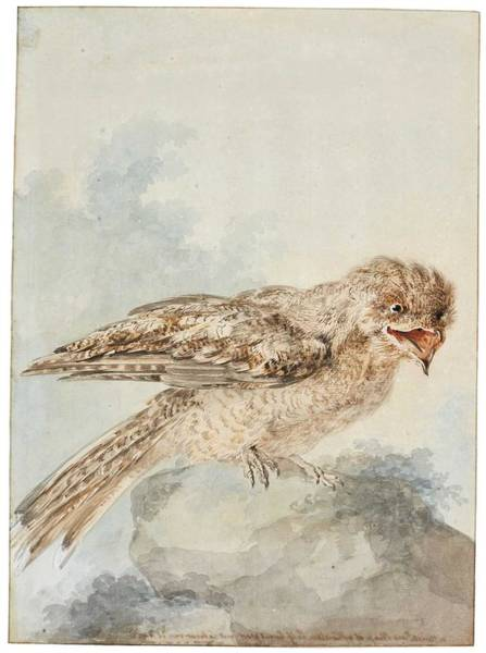Wall Art - Painting - Aert Schouman A Great Potoo, Or Frogmouth  Nyctibius Grandis  by Celestial Images