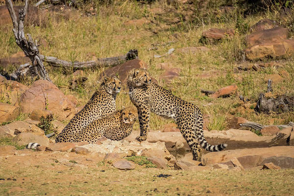 Wall Art - Photograph - Africa, South Africa, Welgevonden Game by Jaynes Gallery