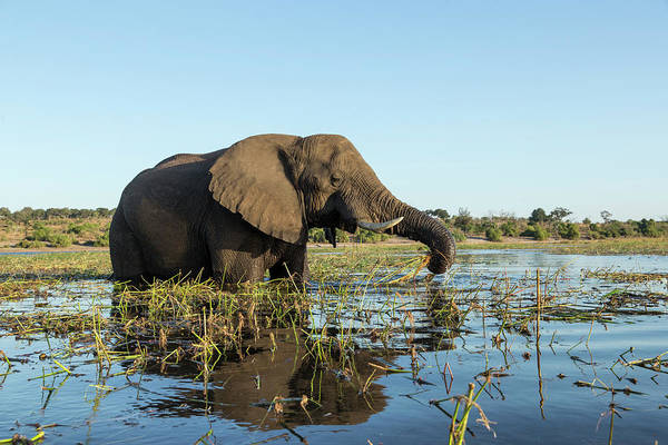 Chobe National Park Wall Art - Photograph - African Elephant In River, Botswana by Paul Souders