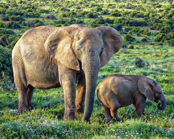 Photograph - African Elephants by Anthony Dezenzio