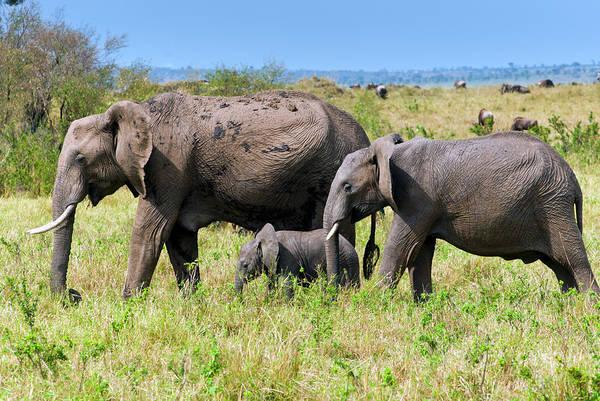 Savannah Photograph - African Elephants,  Masai Mara , Kenya by Nico Tondini