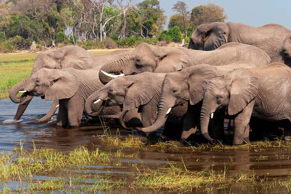 Photograph - African Elephants, Okavango Delta by Mint Images/ Art Wolfe