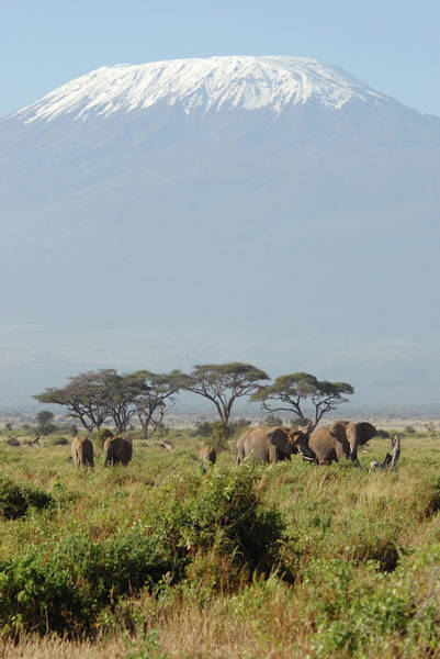 Kilimanjaro Photograph - African Elephants by Oversnap