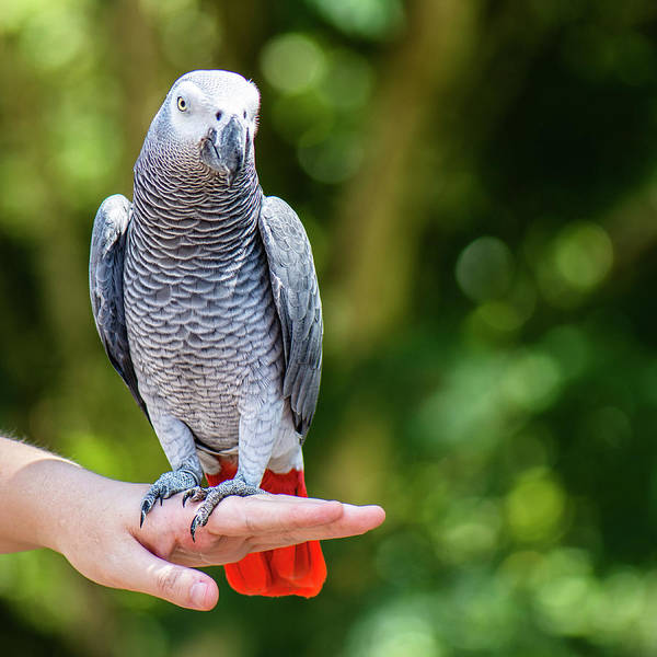 Photograph - African Grey Parrot by Rob D Imagery