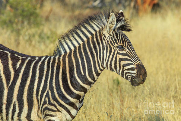 Photograph - African Zebra In Kalahari by Benny Marty