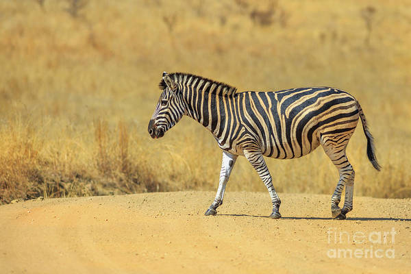 Photograph - African Zebra Walking by Benny Marty