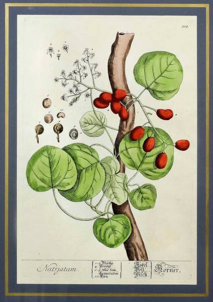 Wall Art - Painting - After Elizabeth Blackwell  1710 1774    Plant Studies by Celestial Images