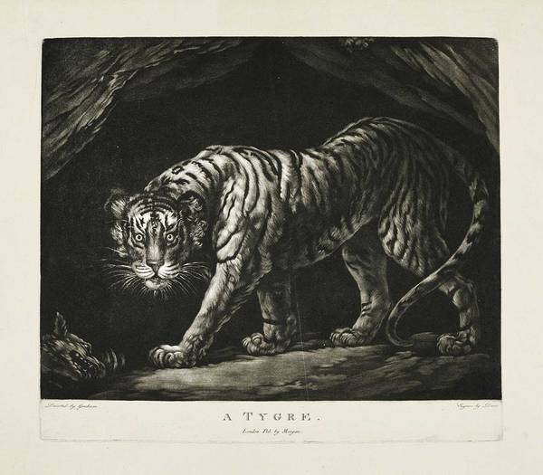Wall Art - Painting - After James Northcote, R.a. 1746 - 1831 A Tygre by Celestial Images