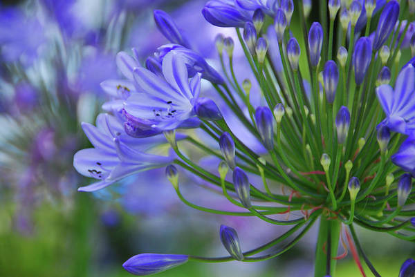 Agapanthus Photograph - Agapanthus Close-up, Sausalito, Marin by Anna Miller