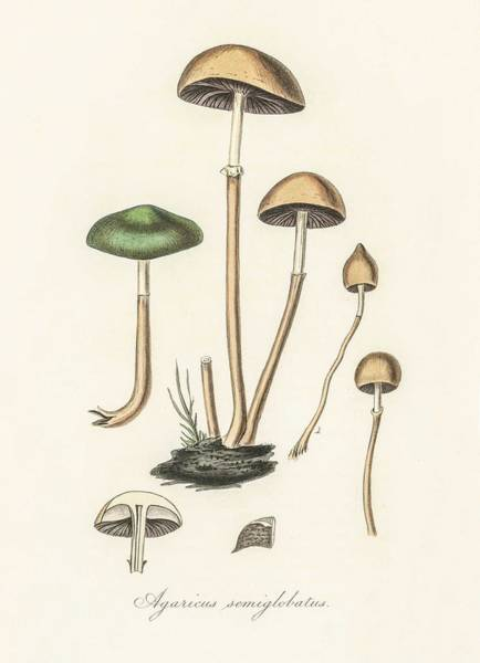 Wall Art - Painting - Agaricus Semiglobatus Illustration From Medical Botany  1836  By John Stephenson And James Morss Chu by Celestial Images