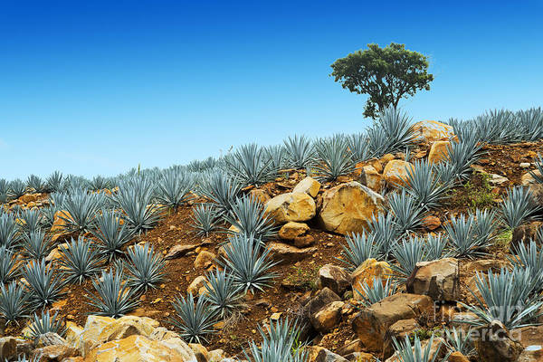 Wall Art - Photograph - Agave Tequila Landscape To Guadalajara by Jesus Cervantes