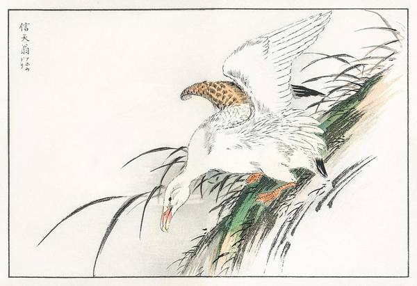 Wall Art - Painting - Albatross Illustration From Pictorial Monograph Of Birds  1885  By Numata Kashu  1838-1901  by Celestial Images
