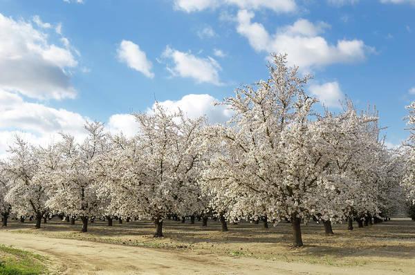 Almond Orchard With Springtime Blossoms Art Print