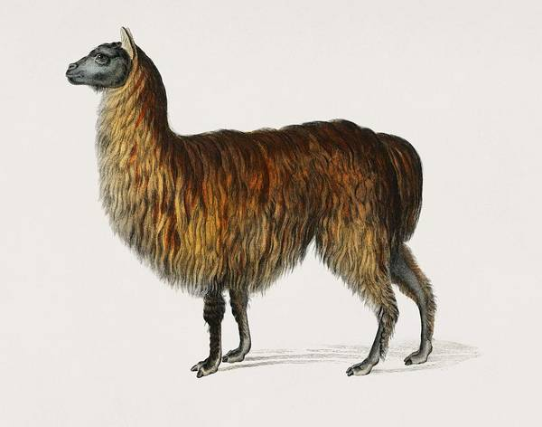 Alpaca Painting - Alpaca  Vicugna Pacos  Illustrated By Charles Dessalines D  Orbigny  1806 1876  by Celestial Images