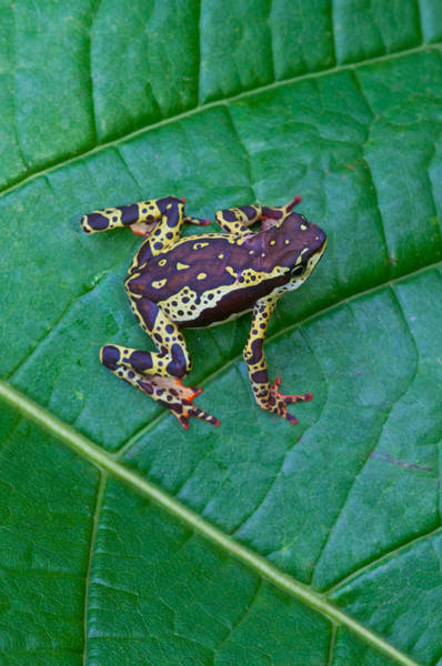 Wall Art - Photograph - Amazon Harlequin Toad by Michael Lustbader