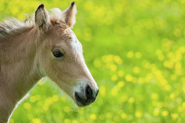 Photograph - Amber Foal Portrait by Scott Lyons