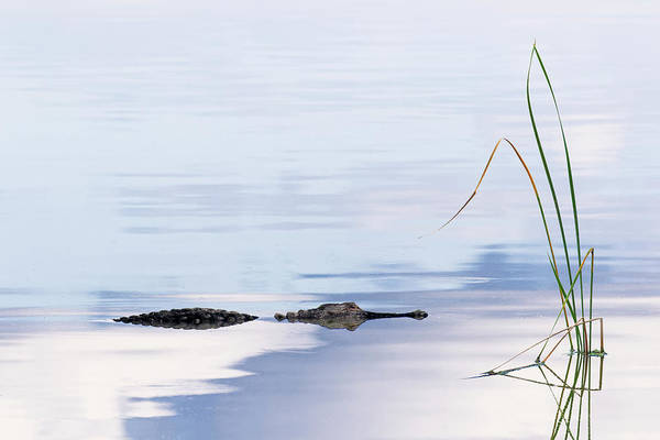 Wall Art - Photograph - American Alligator And Sky Reflection by Adam Jones