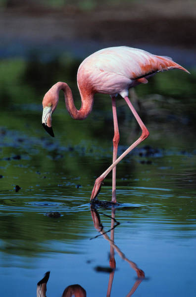Ecuador Wall Art - Photograph - American Flamingo Phoenicopterus Ruber by Art Wolfe