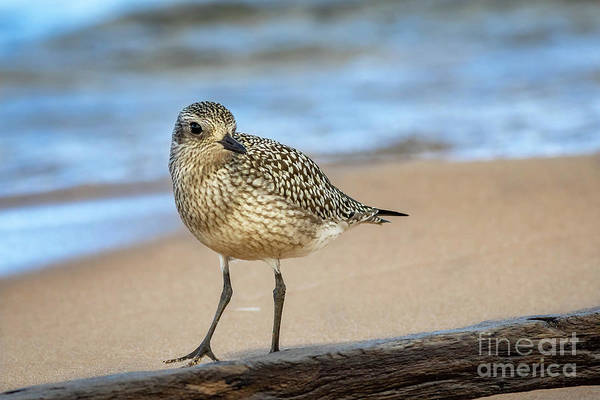 Wall Art - Photograph - American Golden Plover by Todd Bielby