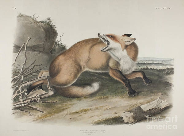 Wall Art - Painting - American Red Fox by John James Audubon