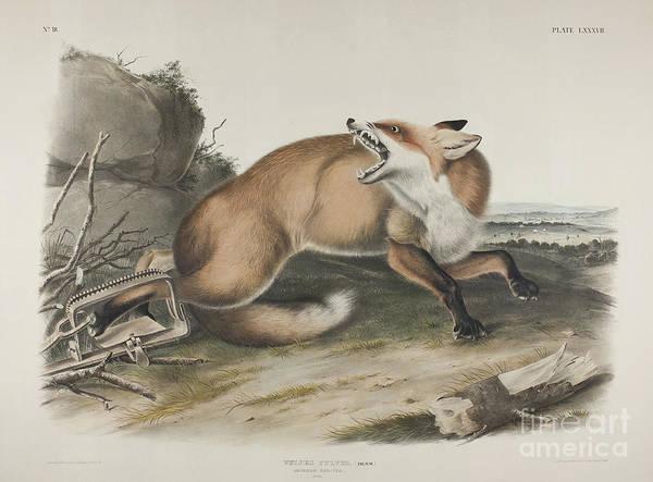 Wall Art - Painting - American Red Fox by John James Audubon