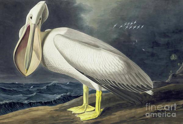 American White Pelican Wall Art - Painting - American White Pelican, Pelecanus Erythrorhynchos by John James Audubon