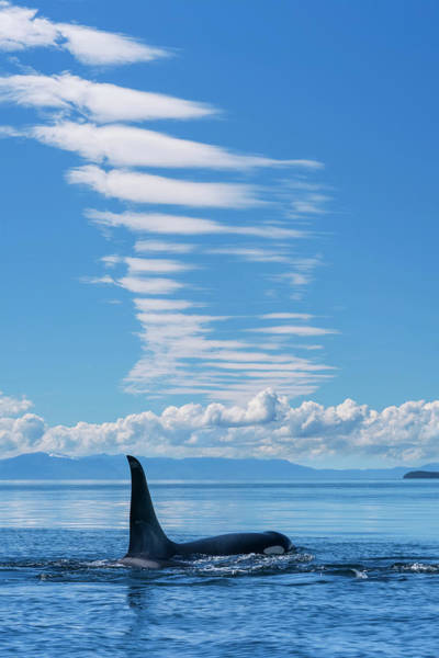 Wall Art - Photograph - An Orca  Orcinus Orca , Also Known by John Hyde