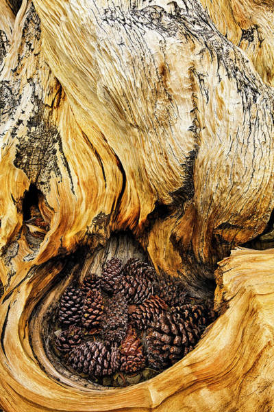 Wall Art - Photograph - Ancient Bristlecone Pine Cones Caught by Adam Jones