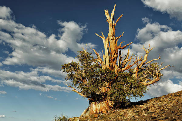 Wall Art - Photograph - Ancient Bristlecone Pine Trees, White by Adam Jones