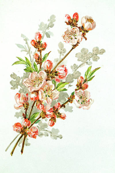 Apple Blossom 19 Century Illustration Art Print