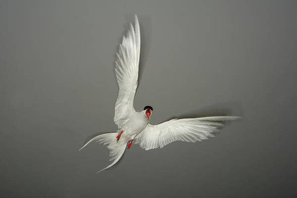 Wall Art - Photograph - Arctic Tern Aggression by Andrew Parkinson