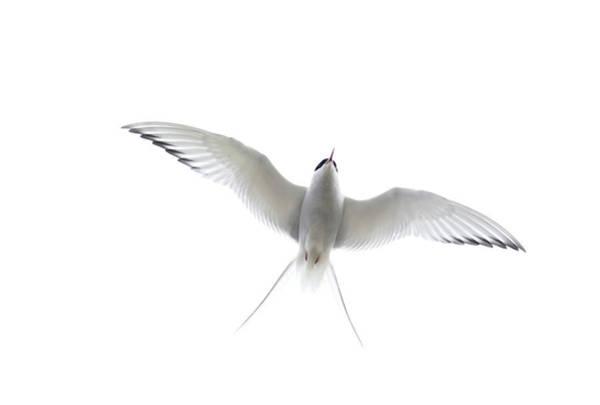 Wall Art - Photograph - Arctic Tern by David Tipling