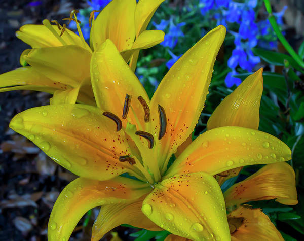 Photograph - Asiatic Lily by Kevin Banker