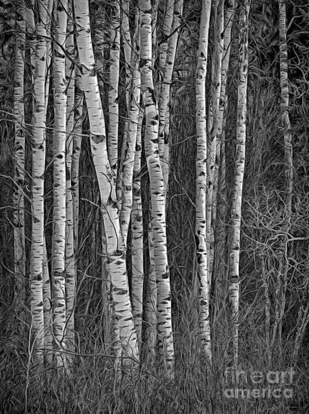 Photograph - Aspen by Darrel Giesbrecht