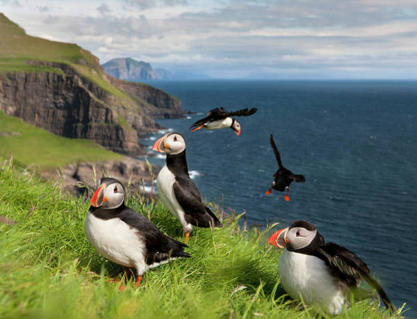 Mid-atlantic Photograph - Atlantic Puffins On Mykines by Life On White