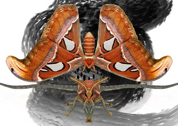 Drawing - Atlas Moth7 by Joan Stratton
