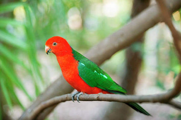 Photograph - Australian King Parrot. by Rob D Imagery