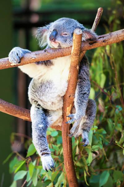 Photograph - Australian Koala by Rob D Imagery