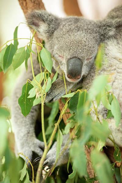 Photograph - Australian Koalas by Rob D Imagery