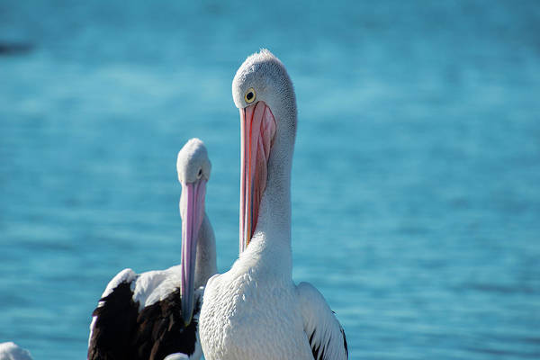 Photograph - Australian Pelicans by Rob D Imagery