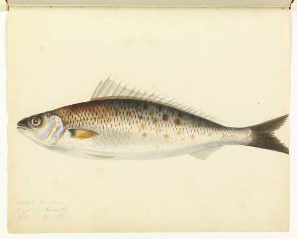 Wall Art - Painting - Australian Salmon Unsigned Sketches Attributed To William Buelow Gould by William Buelow Gould