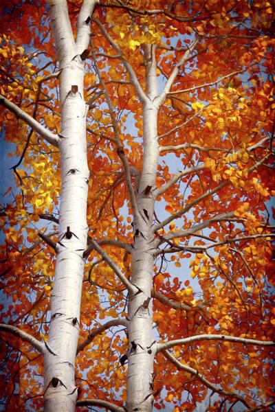 Wall Art - Photograph - Autumn Aspens  by Saija Lehtonen