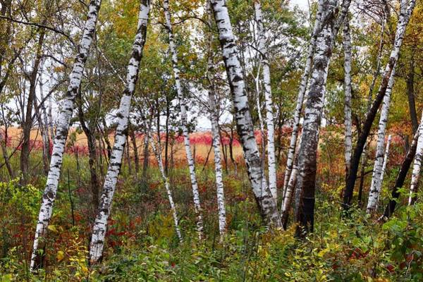 Photograph - Autumn Birch Grove by Sarah Lilja