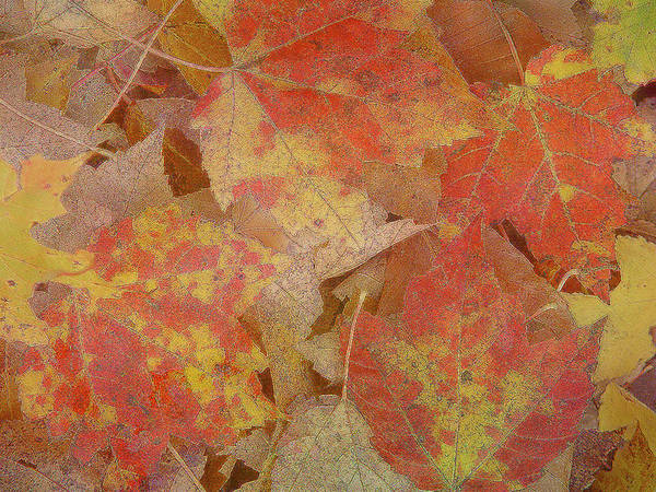 Photograph - Autumn Leaves by Silvia Marcoschamer