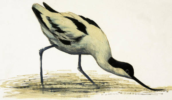 Wall Art - Painting - Avocet by English School