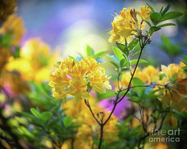 Wall Art - Photograph - Azaleas Golden Light by Mike Reid