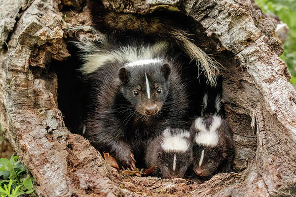 Wall Art - Photograph - Baby Skunks And Adult Female Mother by Adam Jones