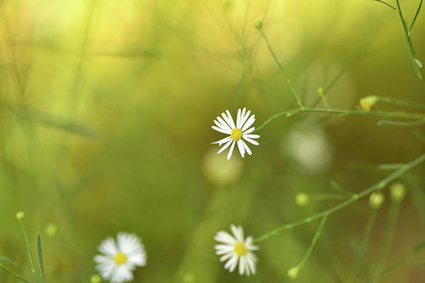 Photograph - Baby's-breath  by Karen Rispin